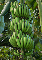 Banana tree, Jamaica