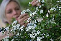 Weißdornblüten-Ernte, Blüten von Weißdorn sammeln, ernten, pfücken, Weißdorn-Blüten, Weißdorn, Weissdorn, Weiß-Dorn, Weiss-Dorn, Crataegus spec., English Hawthorn, May, Aubépine