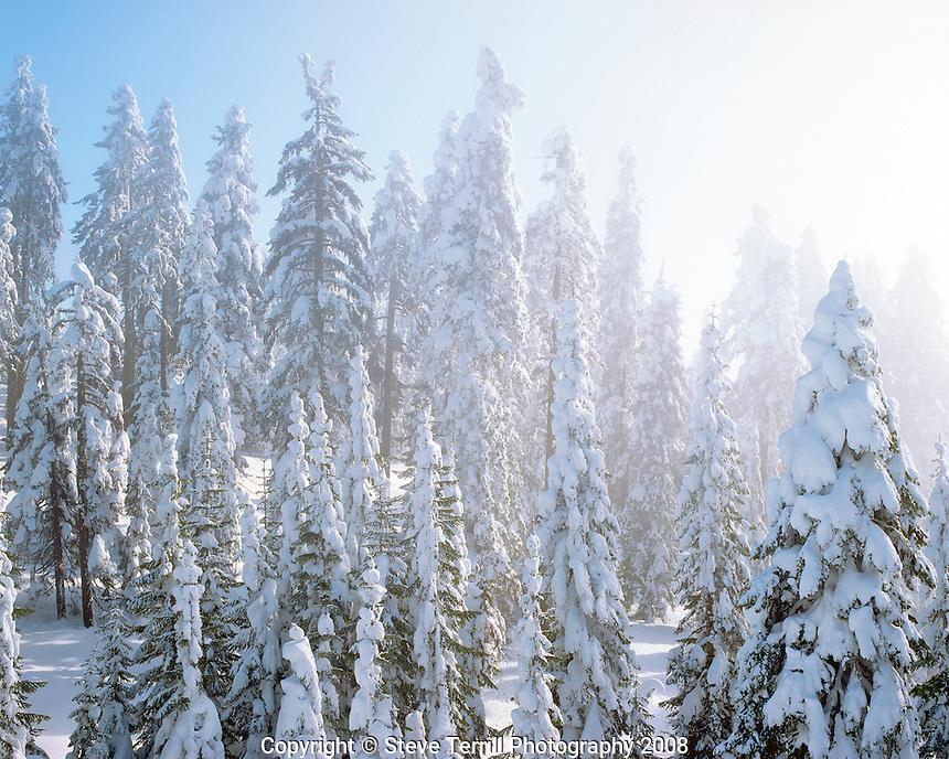 Fresh snow on evergreens on Mt Ashland Oregon