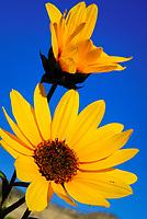 wild sunflower, Bryce Canyon National Park, Utah, USA