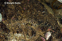 TP18-505z  Grubby Sculpin Fish camouflaged in Tidepool, Myoxocephalus aenaeus