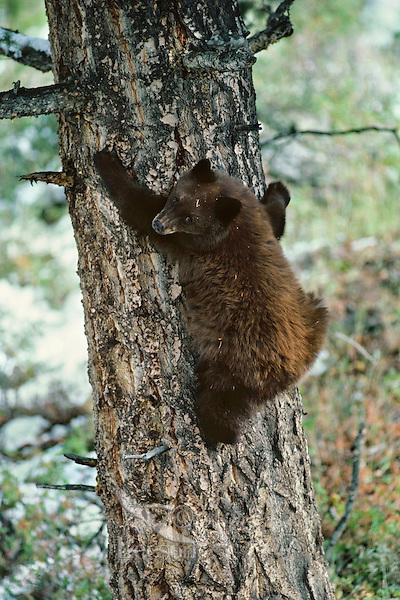 Black Bear (Ursus americanus) cub (cinnamon color phase) seeking refuge in tree.  Western U.S., fall.