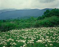 Field of Cow Parsnip (Heracleum lanatum) in bloom at Hazletop Overlook; Shenandoah National Park, VA