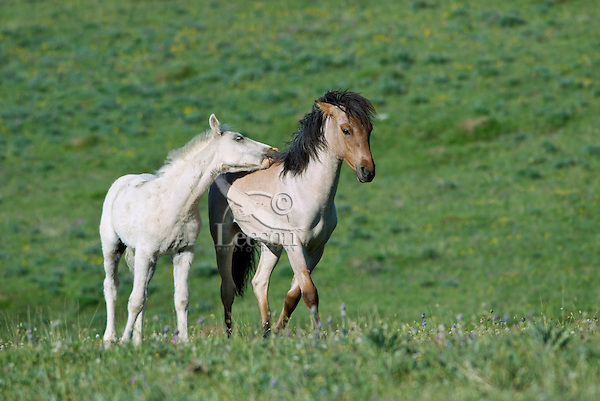 Wild Horse or feral horse (Equus ferus caballus) colt pestering yearling.  Western U.S., summer.