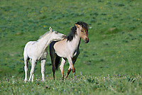 Wild Horse or feral horse (Equus ferus caballus) colt pestering yearling.  Western U.S., summer.