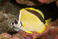 Barberfish Johnrandallia nigrirostris Clipperton Island France - Mexico