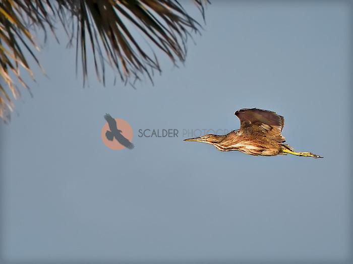 American Bittern flying towards a palmtree in Florida