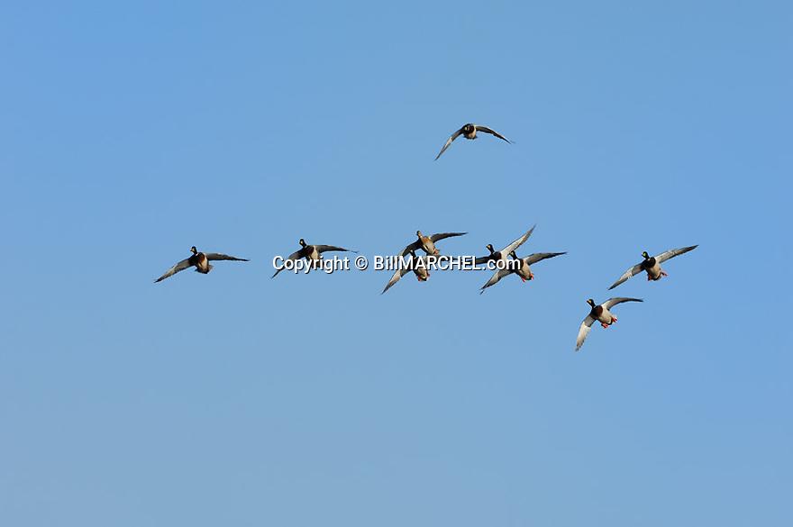 00330-065.10 Mallard Duck (DIGITAL) flock in flight against blue sky.  H1F1