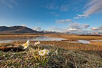 Mountain aven blossoms along the Nigu river, National Petroleum Reserve, Alaska.