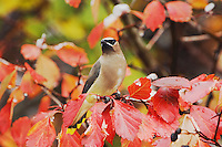 Cedar Waxwing, Bombycilla cedrorum, adult on hawthorn with fallcolors, Grand Teton NP,Wyoming, USA