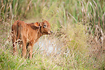 Brazoria County, Damon, Texas; a light brown calf in the tall grass and reeds at the edge of the slough