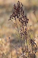 Johanniskraut, trockene Stängel im Herbst, abgetrocknete Pflanze, Tüpfel-Johanniskraut, Echtes Johanniskraut, Durchlöchertes Johanniskraut, Tüpfeljohanniskraut, Tüpfel-Hartheu, Hartheu, Hypericum perforatum, St. John´s Wort, Tipton's weed, rosin rose, goatweed, chase-devil, Klamath weed, Le millepertuis perforé, millepertuis commun, millepertuis officinal