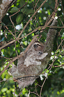 Brown-throated Three-toed Sloth, Bradypus variegatus , female carrying young, Manuel , December 2006