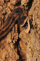 Texas Rat Snake, Elaphe obsoleta lindheimeri, adult hissing, Lake Corpus Christi, Texas, USA
