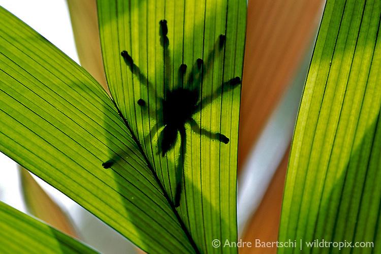 Arboreal Tarantula (Avicularia sp.) on a palm leaf in lowland tropical rainforest, Bahuaja-Sonene National Park, Madre de Dios, Peru.