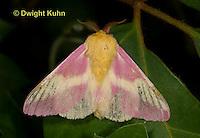 LE44-523z  Rosy Maple Moth Male - Dryocampa rubicunda