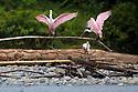 Roseate Spoonbill (Platalea ajaja) Madre de Dios River, Manu Biosphere Reserve, Amazonia, Peru.