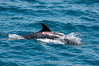 Bottlenose dolphin, Tursiops truncatus, with wound or sore area possibly made by remora, Sea of Cortez, Mexico, East Pacific Ocean