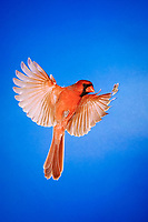 northern cardinal, Cardinalis cardinalis, male in flight, New Braunfels, Hill Country, Texas, USA, North America