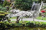 PRUNUS SP., WEEPING FLOWERING CHERRY TREE