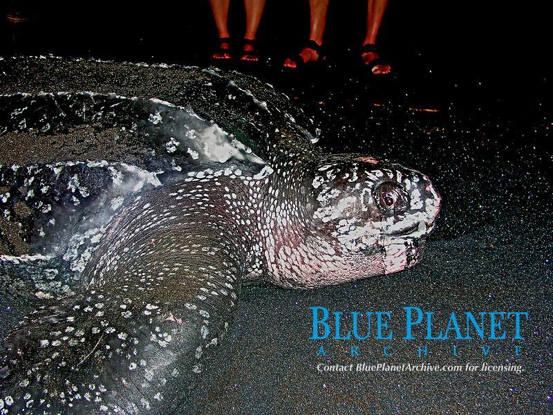 giant female leatherback sea turtle, Dermochelys coriacea, Dominica, Caribbean, Atlantic Ocean