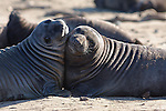 Elephant seal weaners, Ano Nuevo SP, CA.  Frank Balthis