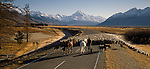 Musterers with horses and dogs moving mob of sheep on the Mount Cook Road   with Mount Cook in the background. Canterbury Region of  New Zealand.