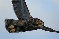 Great Horned Owl in flight, San Angelo, Texas