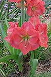 FLOWERING BULB, AMARYLLIS 'VERA'