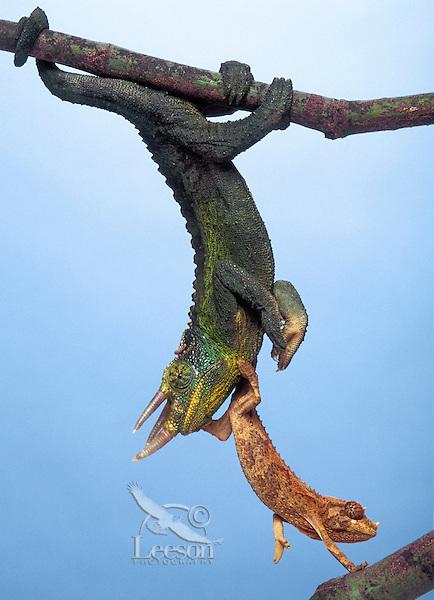 JACKSON'S CHAMELEON. Young climbing on adult male..Eastern Africa & Introduced to Hawaii. Captive..(Chamaeleo jacksonii).