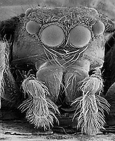 JS04-001z Jumping Spider Face  SEM 110x [at 8x10 inches]