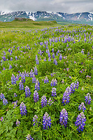 Meadow of lupine wildflowers in Katmai National Park, Alaska Peninsula, southwest Alaska. Aleutian mountain range in the distance.