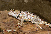 1R19-503z  Desert Spiny Lizard, Sceloporus magister