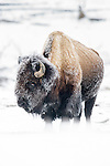 American Bison (Bison bison) covered in early morning frost. Firehole River Valley. Yellowstone National Park, Wyoming, USA.