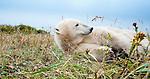 Polar Bear (Ursus maritimus) resting in tundra vegetation. Shores of Hudson Bay, Canada in late September.