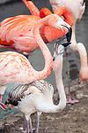 caribbean flamingo mother feeding baby, medium shot, vertical