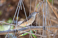 Little Shrike-Thrush, Mary River, Kakadu NP, NT, Australia