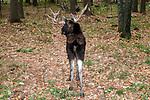 Bull moose walking away from camera full body view.