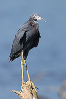 The little blue heron, yet another heron species found on the Rio Tarcoles.