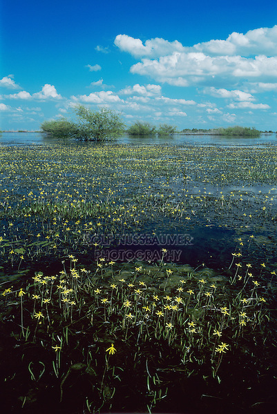 Water stargrass, Heteranthera dubia, blooming, Choke Canyon state park, Texas, USA