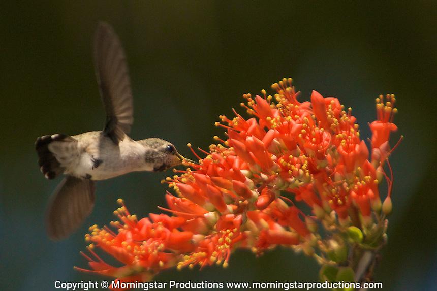 Stock - Humming Birds