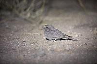 Star-spotted Nightjar in Awash National Park, Ethiopia