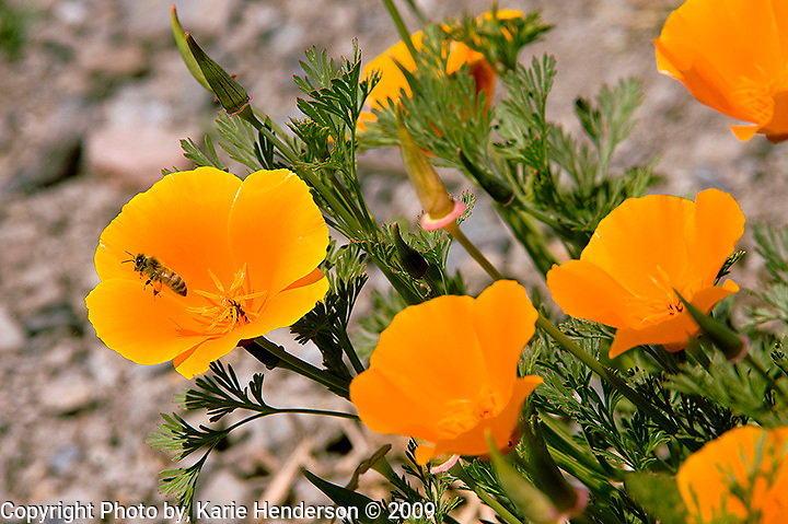 A Honey Bee leaves a California Poppy, Aschscholzia californica, found here in Big Sur California, along the roadway. Shot with a Nikon and a Nikon 200-400mm lens..Magnification 2:1 ratio.This poppy is the California State flower and can be found at varying elevations and climates. It blooms from February to September and was used as a tonic to encourage hair growth by the Spanish Californian's