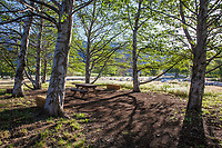 Picnic table in shade of native Poplar trees (Populus); Southern California Montane Botanic Garden