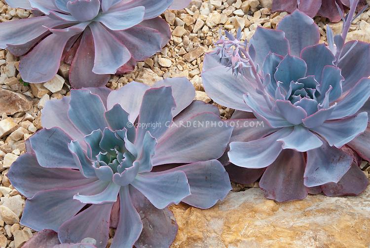 Succulent plant Echeveria 'Afterglow' aka 'After Glow'