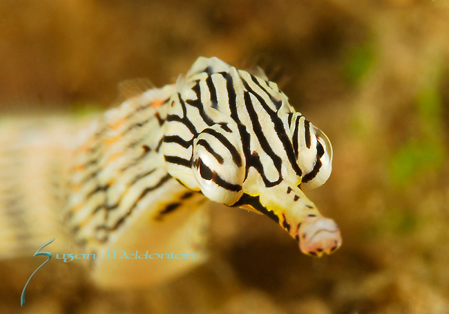 Striped Pipefish, Network Pipefish, Corythoichthys flavofasciatus, Lembeh Straits, Sulawesi Sea, Indonesia, Amazing Underwater Photography