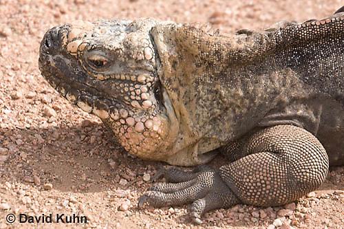0629-1111  Exuma Island Iguana (Northern Bahamian Rock Iguana), Bahamas, Cyclura cychlura figginsi  © David Kuhn/Dwight Kuhn Photography