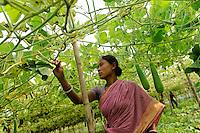 Bangladesh, Region Madhupur, Garo women harvest vegetable / BANGLADESCH Madhupur, Garo Frauen ernten Gemuese