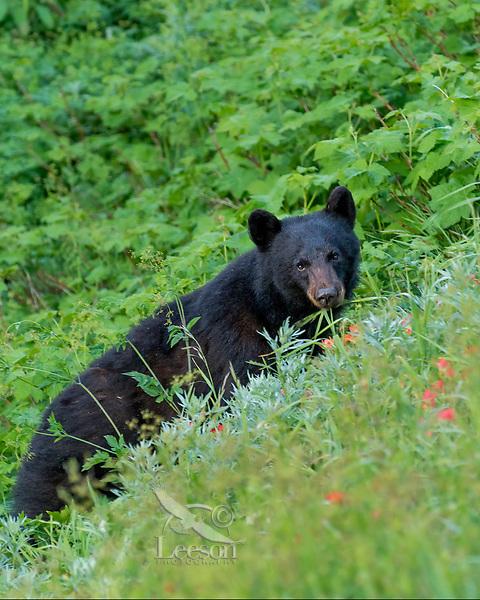 Black Bear (Ursus americanus) among subalpine wildflowers (mostly paintbrush). Olympic National Park, WA. Summer.