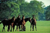 Group of curious thoroughbred yearlings in paddock look at camera. Horizontal. pasture, horse, horses, animals, special effects, photo montage.
